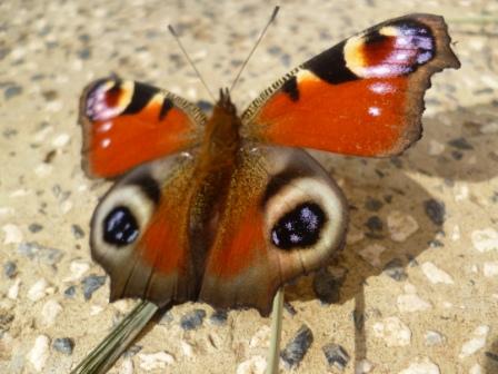 Danje paunče - leptir