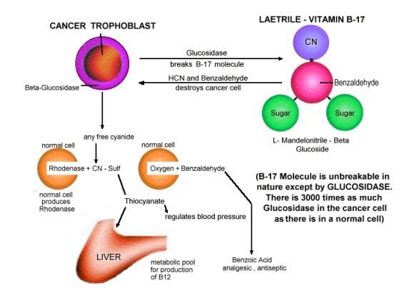 Svijet bez raka: Vitamin B17