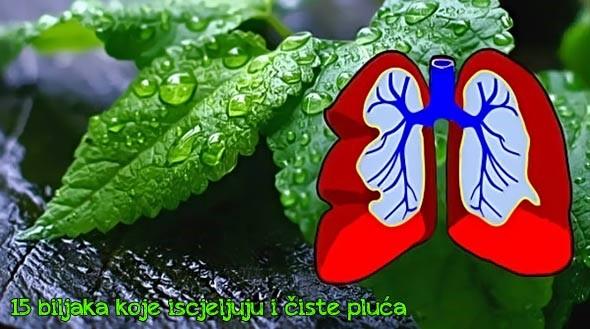 ZABORAVITE NA LJEKARNU: 15 biljaka koje iscjeljuju i čiste pluća, liječe astmu, kašalj, bronhitis …