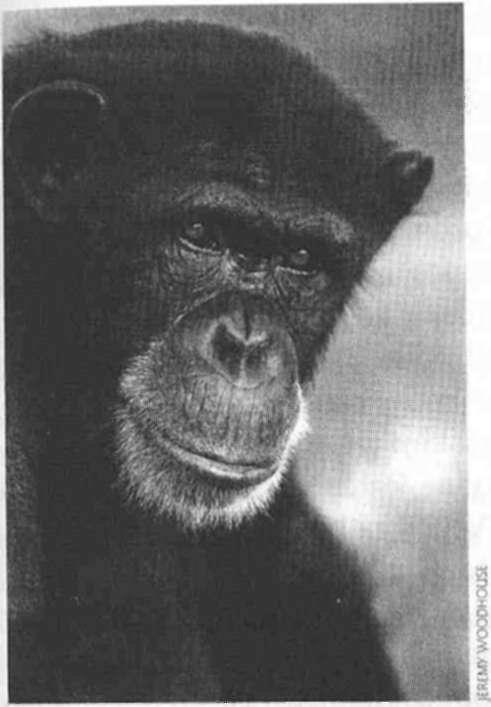 Kako se hrane čimpanze