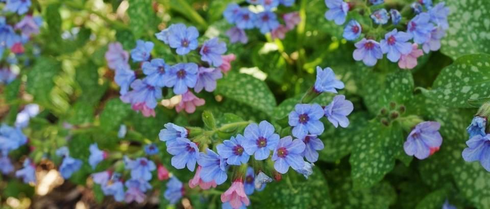 Top 3 proljetnog ljekovitog cvijeća - plućnjak, ljubičica i tratinčica!