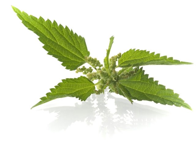Kopriva - čudesni lijek