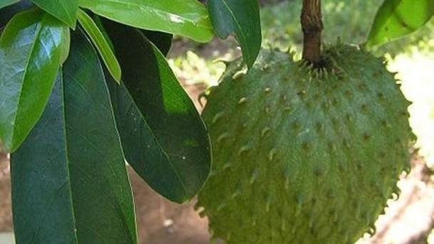 Graviola - biljka koja pobjeđuje rak