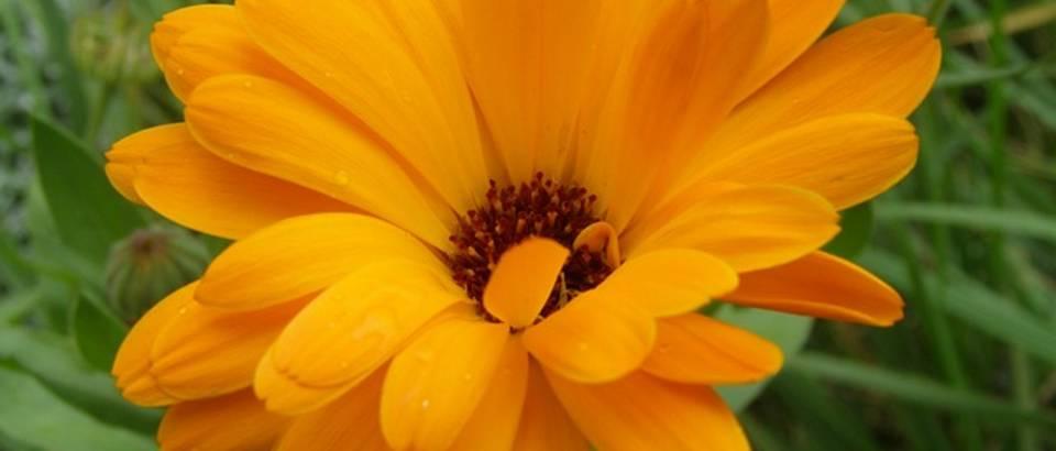 Neven - mala biljka velikih moći