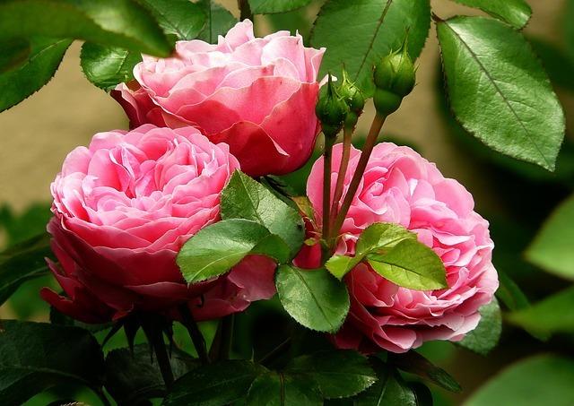 Ruža- kraljica cveća raskošnog mirisa