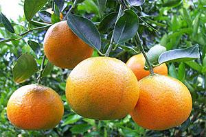 Kakve mandarine kupujete
