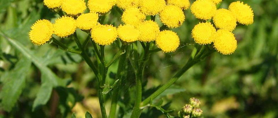 Buhač - narodni lijek protiv herpesa