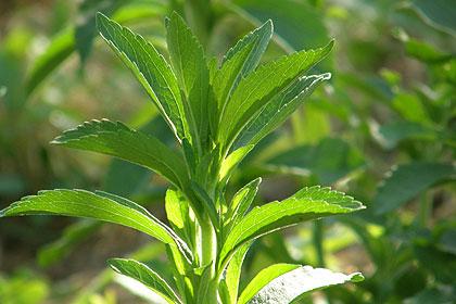 Stevia, najslađa biljka