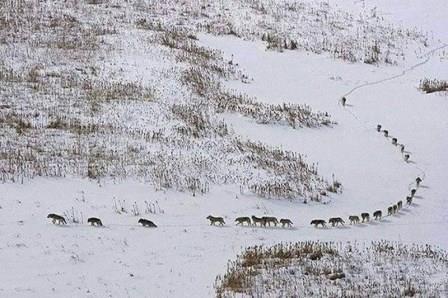 ŽIVOTNA MUDROST  I FILOZOFIJA: Evo šta se može naučiti iz jedne fotografije čopora vukova!