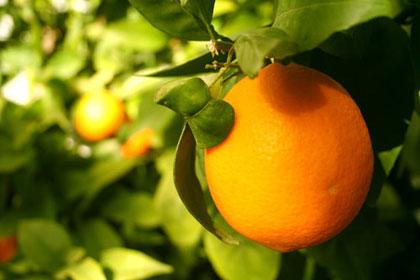 Naranča, kraljica zime