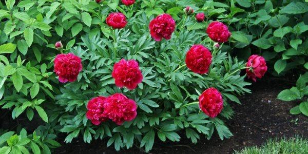 Božur - zdravlje iz naših vrtova