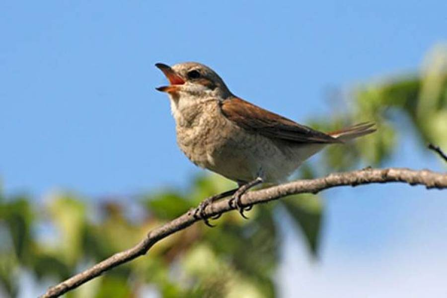 Pesma ptica