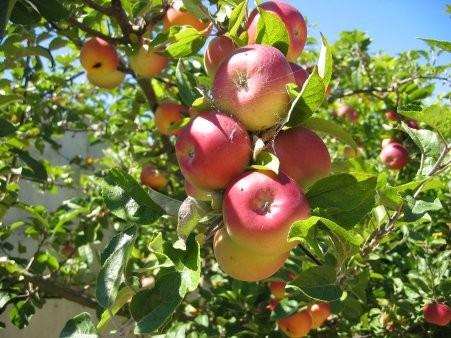 Ne držite jabuke s ostalim voćem