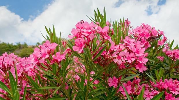 Prekrasne i ubojite: 10 najotrovnijih vrtnih biljaka