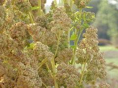 Vitamini - Kvinoja, novost na vašem jelovniku