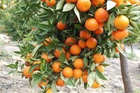 MANDARINE (mandarinke)