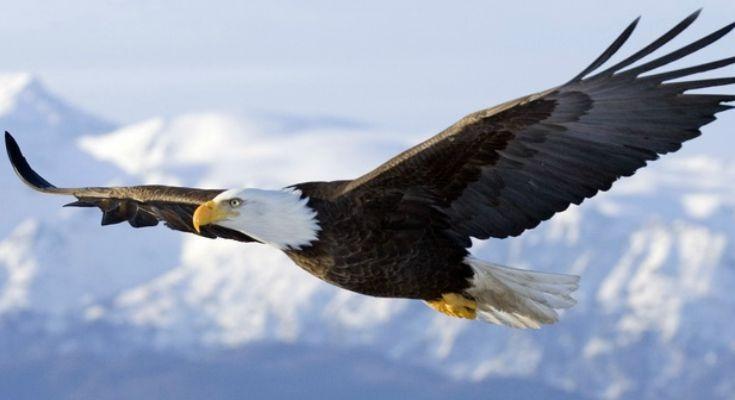 Orlova lekcija:Znate li kako ženka orla bira oca za svoje potomstvo?