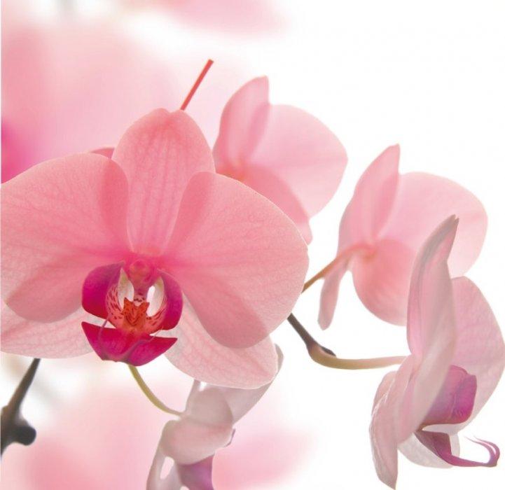 Orhideja...