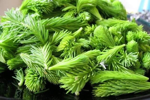 Pripravci zelene ljekarne - sirup od smreke, jele i bora