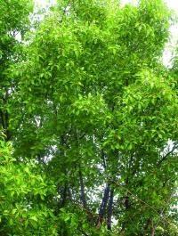 SANDALOVINA - Moćno drvo drevne Indije - SANDALOVINA - Moćne mistične suze drevne Indije