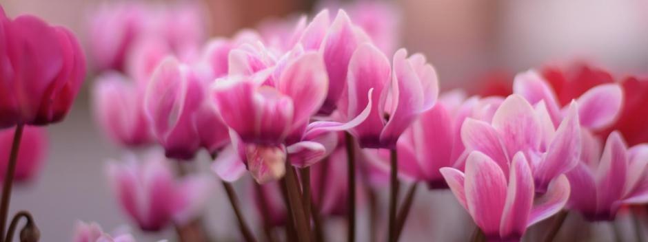ZAŠTO VOLIMO CIKLAMU? Cvijet iskrenosti, sigurnosti i sreće koji ublažava čak i ljubavne boli