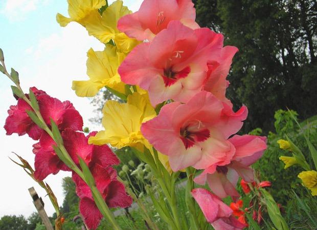 Gladiola (lat. Gladiolus hybridum)