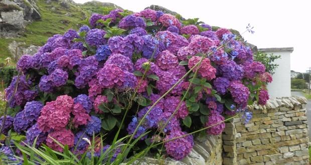 HORTENZIJE: Kako mijenjati boju cvjetova kiseljenjem tla