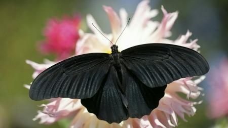 SAN ZA IRIDU ..... crni leptir