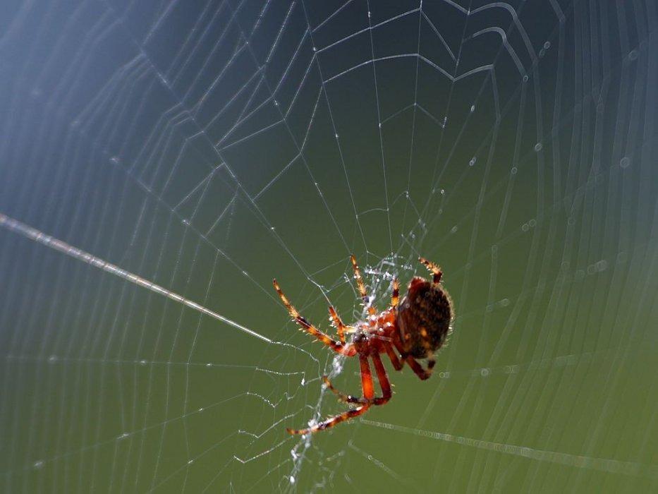 Pauk na mreži