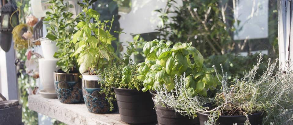4 biljke koje jačaju imunitet, a možete ih uzgojiti u domu ove zime