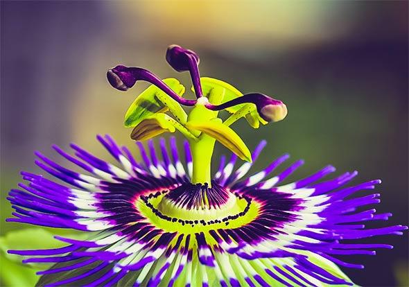 SPAS OD STRESA U NEMILOSRDNOM KAPITALIZMU: Biljka 'Modra Pasiflora' smanjuje anksioznost u roku od samo 30 minuta