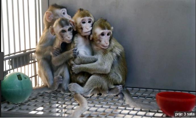 U Šangaju na svijet stigli klonirani majmuni: kineski znanstvenici stvorili pet kopija genetski izmijenjenog makakija kako bi istraživali poremećaje s