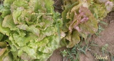 Zelena salata kao ljekovita biljka