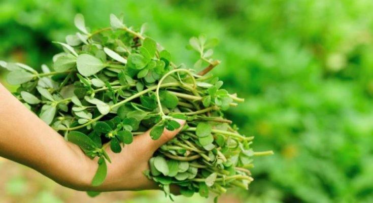 Kinezi ga u svojoj medicini nazivaju povrćem za dugovječnost, kod nas ga ima 'za izvoz', a malo tko uopće zna da se jede
