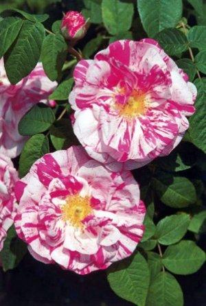 Gallica – galske ruže