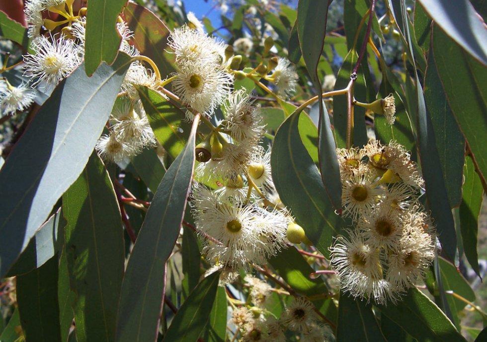 2. Eukaliptus