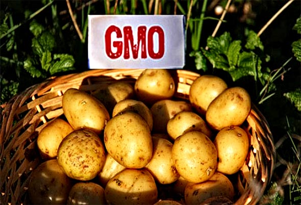 Bivši bioinženjer iz zloglasnog Mosanta 'propjevao' i rekao da GMO krumpir apsorbira više otrova nego obični krupir