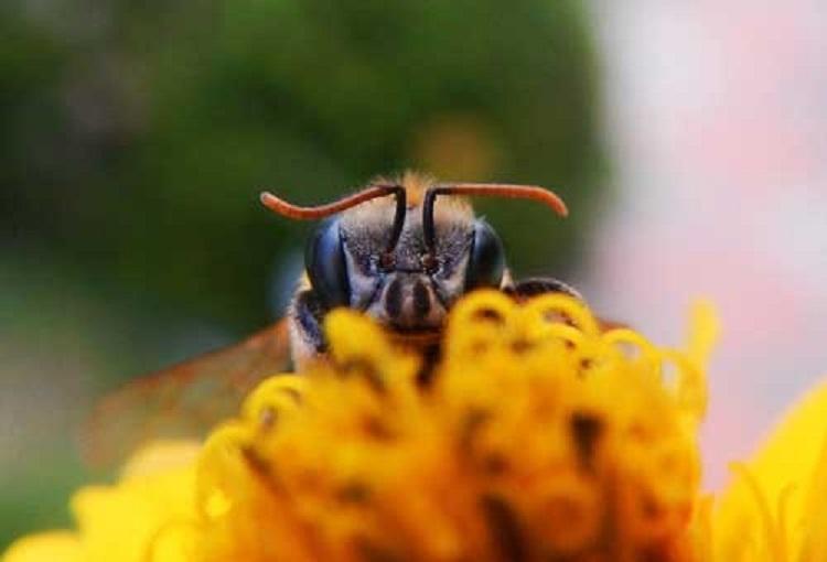 Pčela je proglašena  najvažnijim bićem na planeti