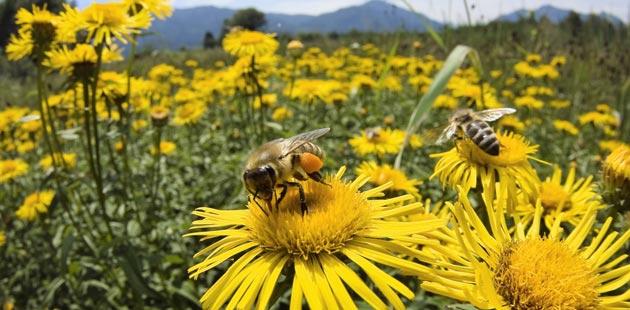 15 NEVJEROVATNIH ČINJENICA O PČELAMA (+ KAKO PČELE RAZVIJAJU NOVU MATICU)