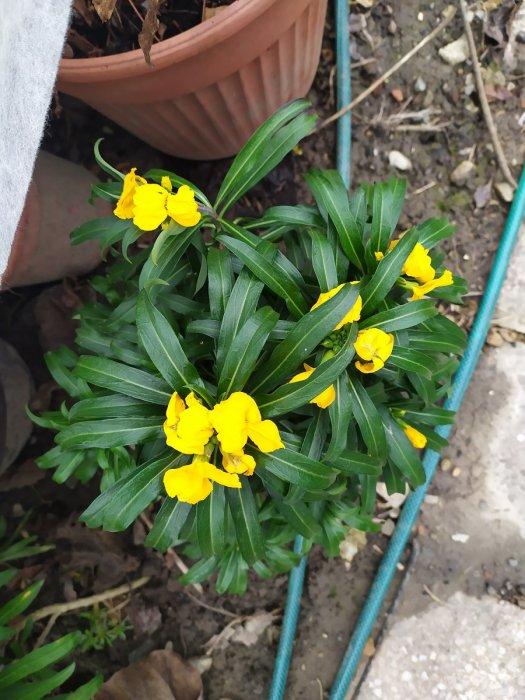 Ljetno cvijeće koje je procvalo za Božić
