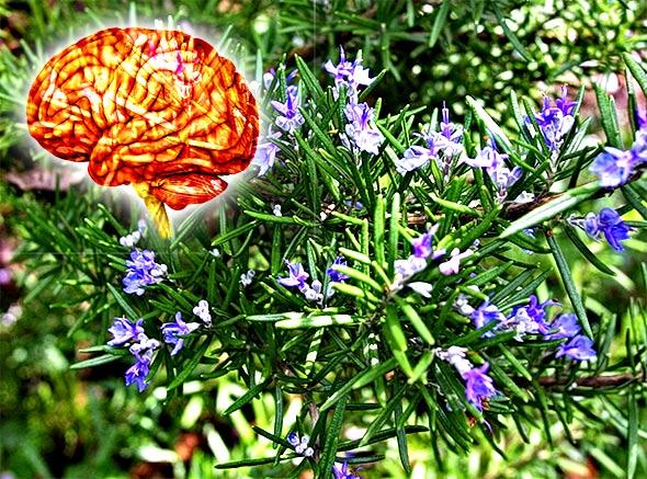 Super snažan spoj u ružmarinu štiti vaš mozak od oštećenja uzrokovanog prevelikim stresom