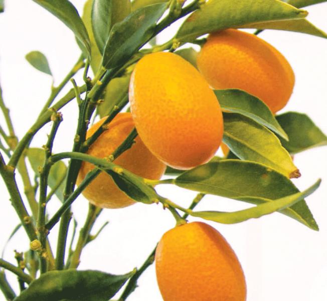 Kumkvat – zlatna naranča u službi vašeg zdravlja