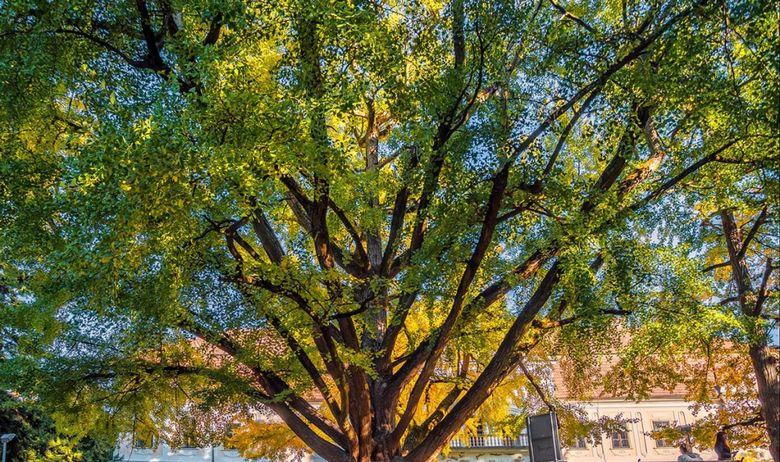 Daruvarski Ginko star 243 godine u finalu za titulu europskog stabla godine! - Glasajte za naš ginko u Daruvaru