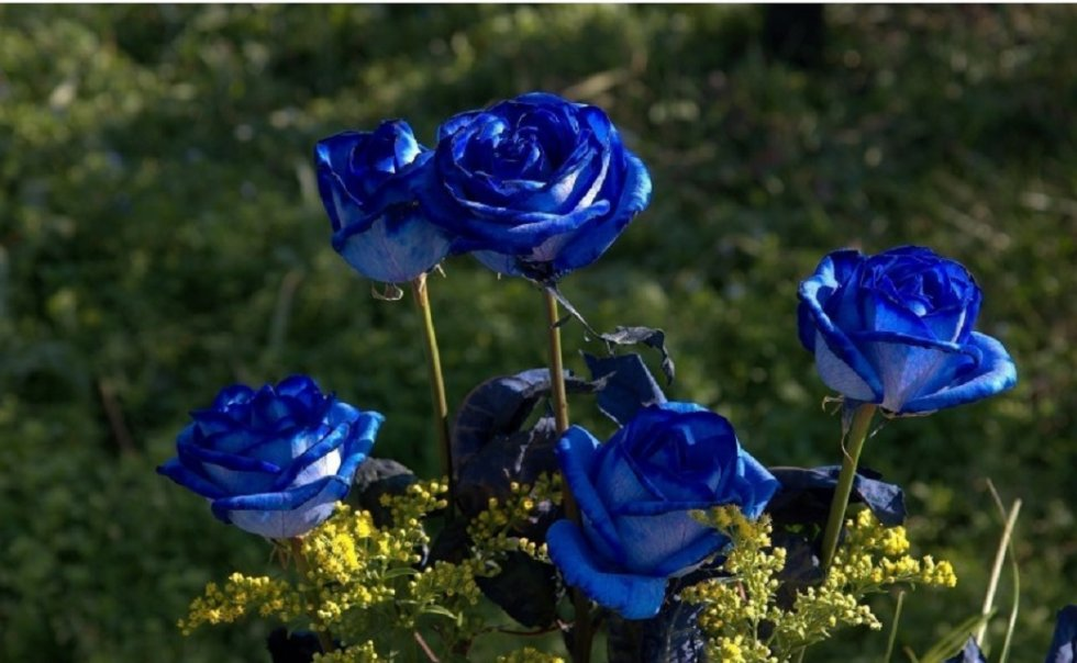 Plava ruža je raritet - Japanska plava ruža