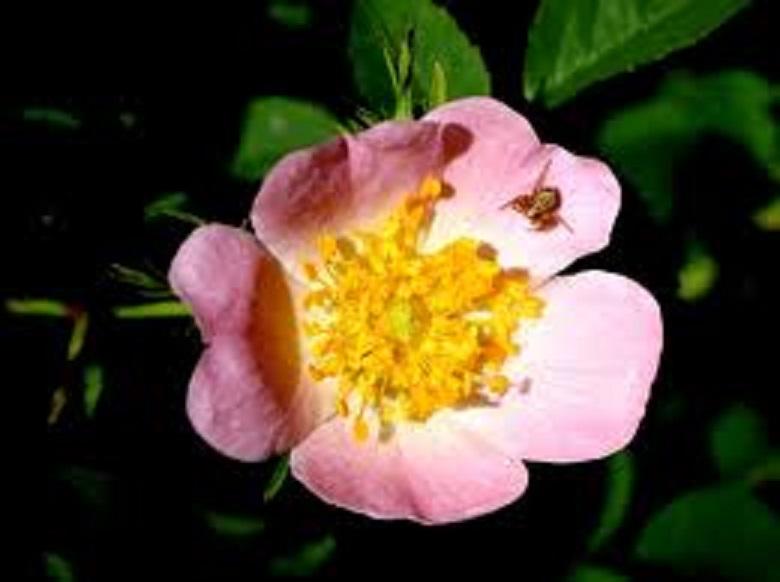 Pasja ruža i ulje ploda divlje ruže