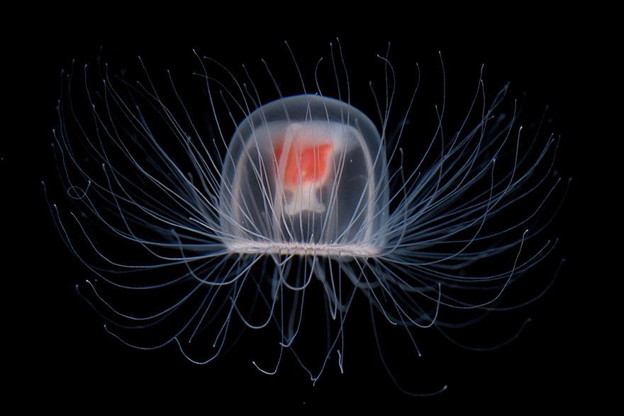 Besmrtna meduza
