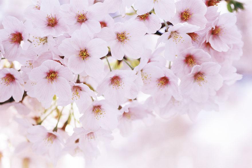 Sakura – cvijet trešnje