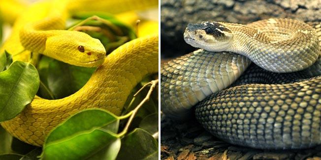 Besplatno tumačenje snova - Luce mala (Velika, žuta zmija...)