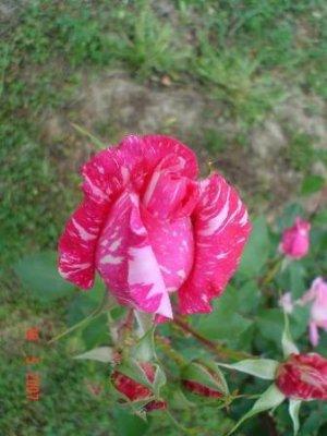 ruža prelijepa