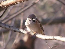 Poljski vrabac